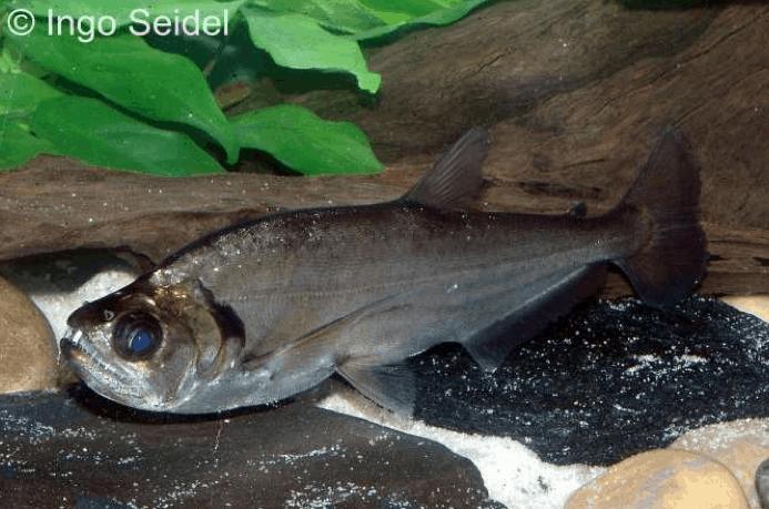Hydrolycus tatauaia - Rotschwanz-Wolfssalmler 1