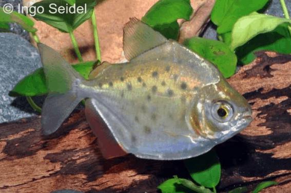 Metynnis sp. aff. maculatus - Punktierter Rotflossen-Scheibensalmler 3