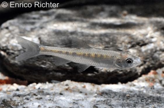 Zacco platypus - Drachenfisch 1