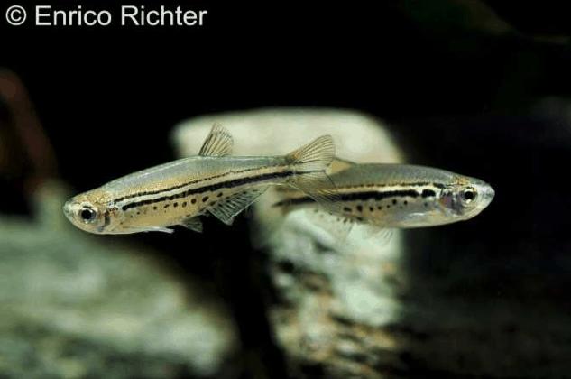 Danio nigrofasciatus - Tüpfelbärbling 1