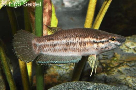 Betta simplex - Krabi-Kampffisch 1
