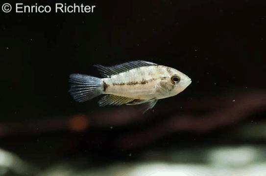Apistogrammoides pucallpaensis - Pucallpa-Zwergbuntbarsch 1