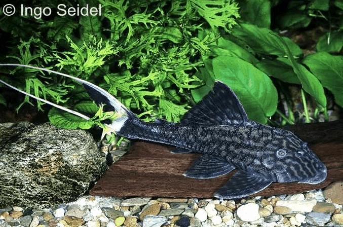 Panaque bathyphilus l 90 harnischwels my fish for Seltene zierfische