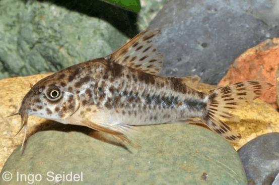 Corydoras diphyes - Pfeffer-Panzerwels 1