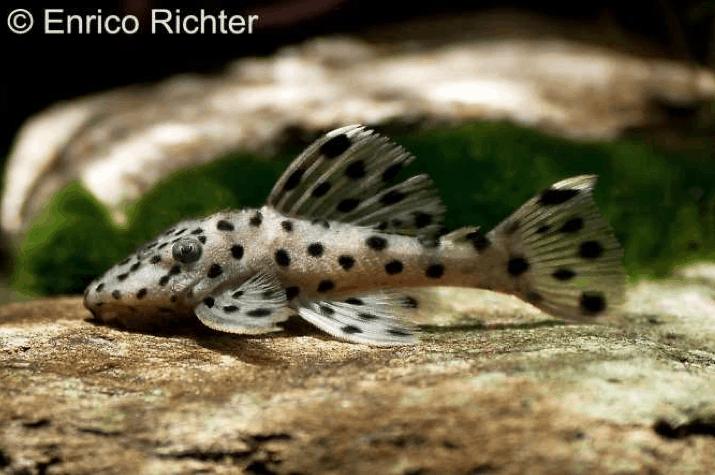 Leporacanthicus joselimai (L 264) - Weißspitzen-Rüsselzahnwels 1