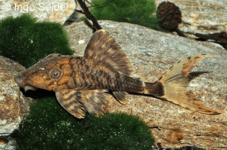 Panaque schaeferi (L 203) - Harnischwels 1