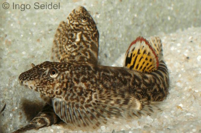 Pseudogastromyzon cheni - Rotflossen-Flossensauger 1