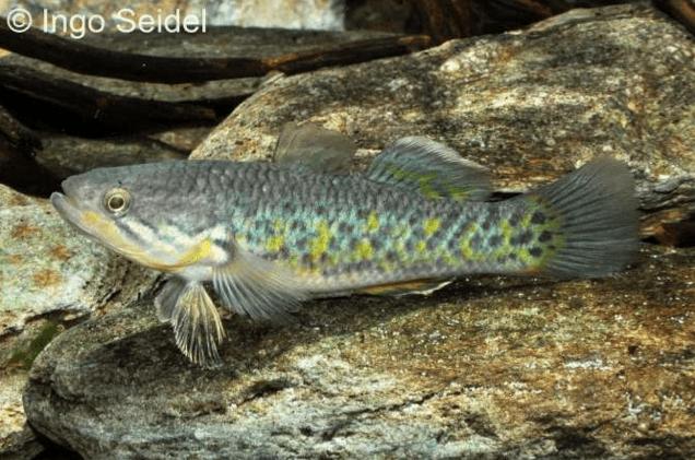 Giuris magaritacea - Manila-Schläfergrundel 1