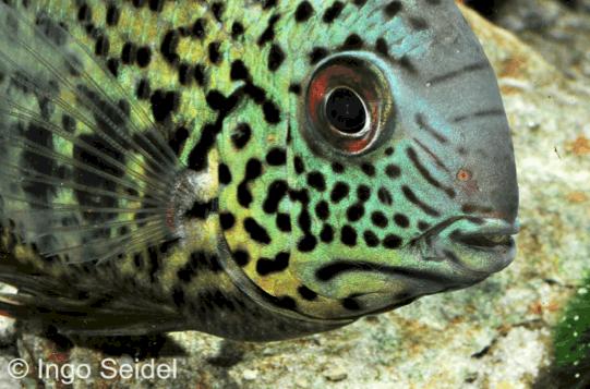 Heros notatus augenfleckbuntbarsch my fish for Robuste zierfische