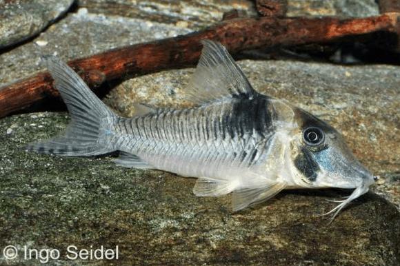 Corydoras serratus - Panzerwels 1