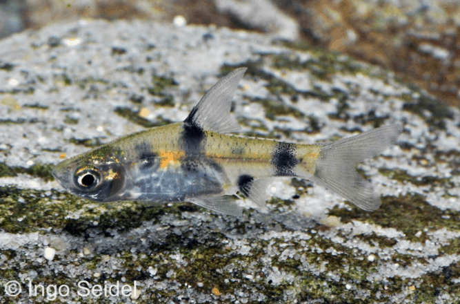 Puntius gelius - Indische Fleckenbarbe 1
