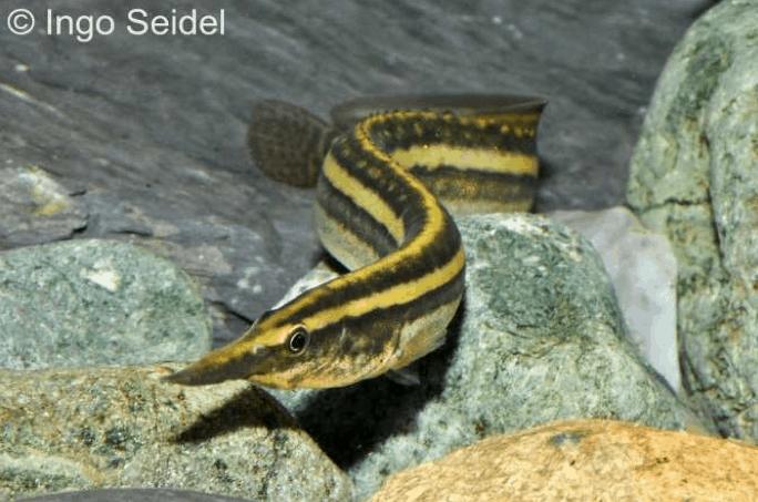Macrognathus aral - Gestreifter Augenfleck-Stachelaal 1