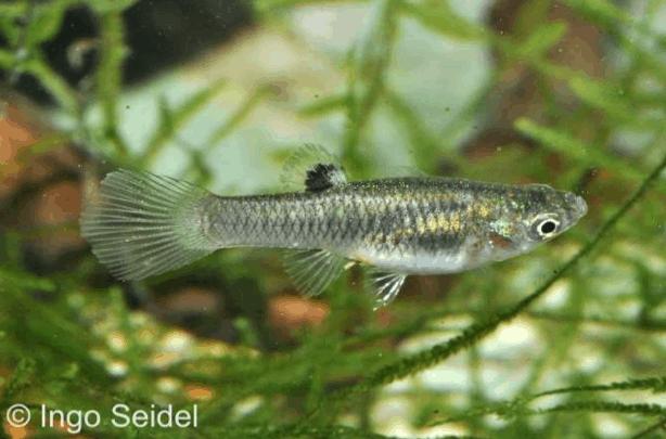 Poecilia caucana - Zahnkarpfen 1