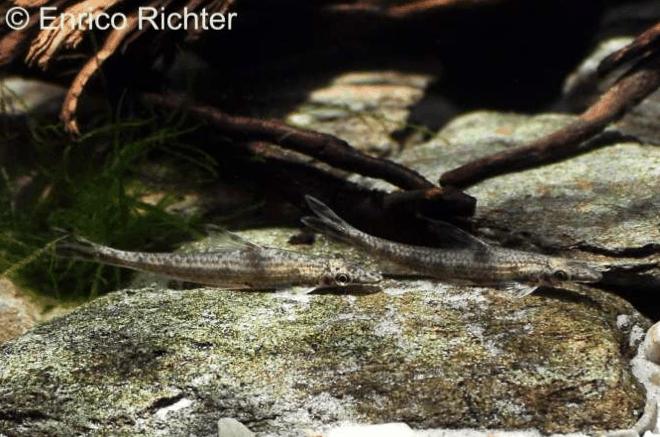 Psilorhynchus sucatio - Gonzo-Spindelschmerle 1