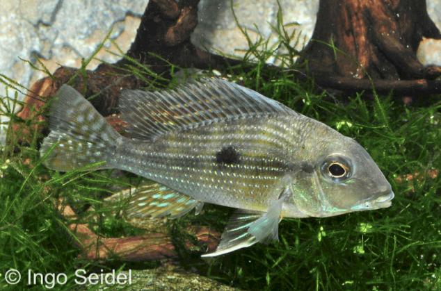 "Geophagus sp. ""Rio Caeté - Caeté-Erdfresser 1"