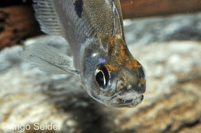 Charax gibbosus - Buckel-Raubsalmler 1