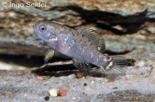 Verbreitungskarte und Fischentwicklung in der Erdgeschichte 3