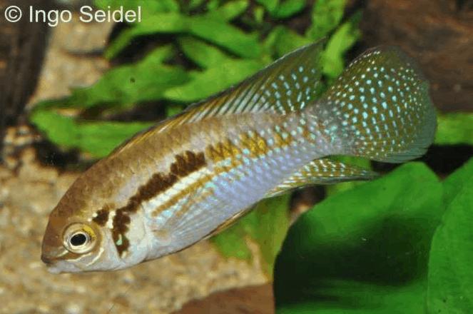 Laetacara araguaiae - Buckelkopf-Tüpfelbuntbarsch 1