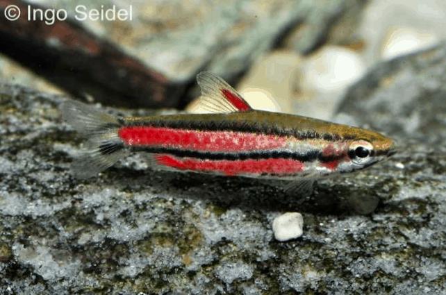 Nannostomus rubrocaudatus 8
