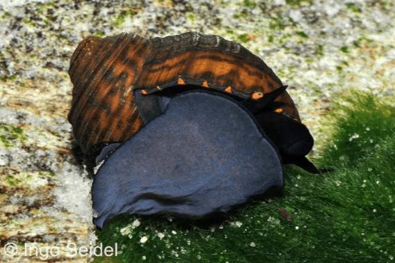Paludomus loricata - Teufelsschnecke 1