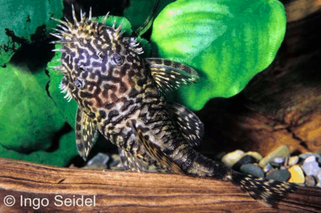 Männchen von Ancistrus claro (LDA 8)