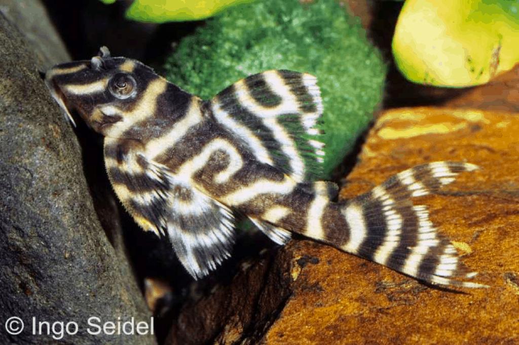 Junger Hypancistrus sp. (L 333)