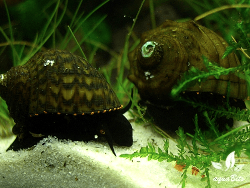 Paludomus loricata - Teufelsschnecke 2
