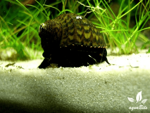 Paludomus loricata - Teufelsschnecke 3