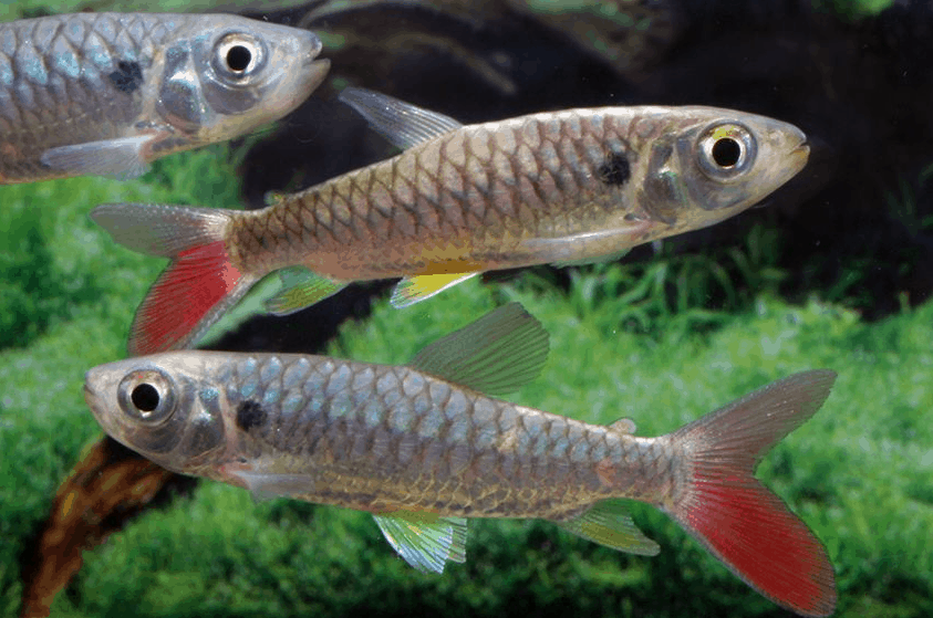 Chalceus erythrurus - Rotflossen-Glanzsalmler 4