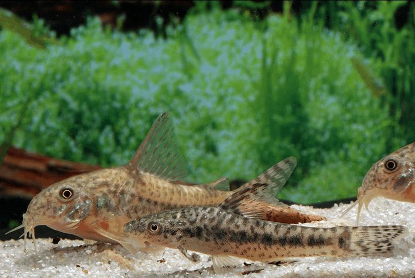 Corydoras diphyes - Pfeffer-Panzerwels 2