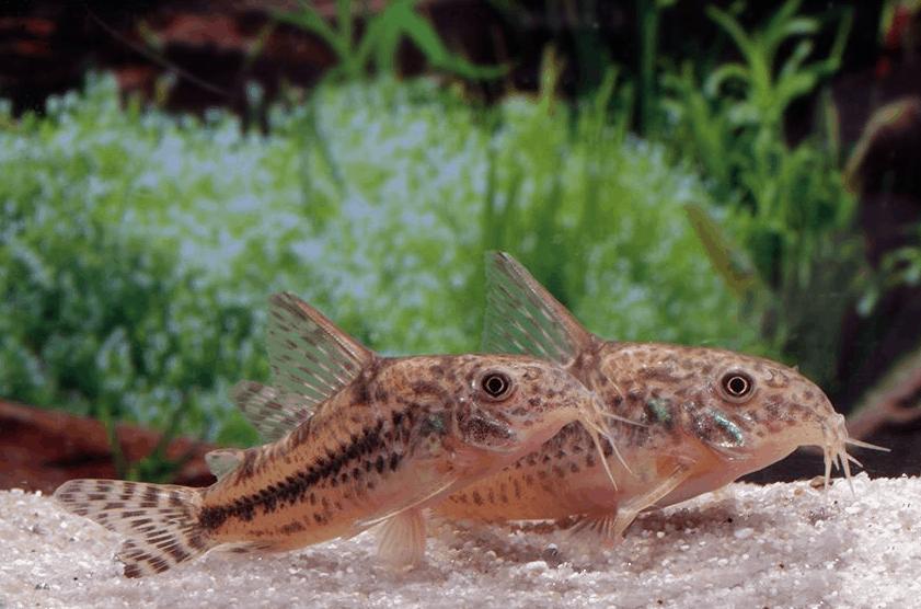 Corydoras diphyes - Pfeffer-Panzerwels 3