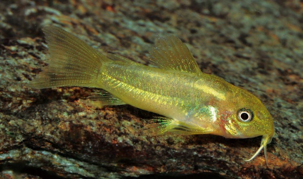Jungfisch von Corydoras sp. CW09 im Alter von einem Monat, Foto: I. Seidel