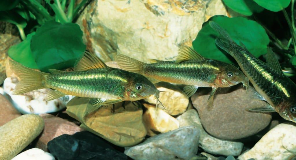 Gruppe von Corydoras sp. CW09 im mit Anubias ausgestatteten Aquarium
