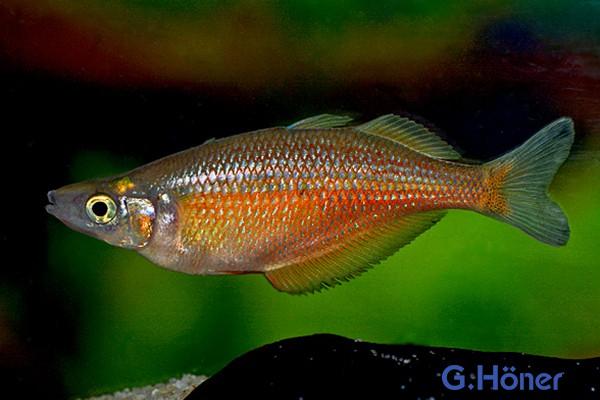 Chilatherina sentaniensis - Regenbogenfisch 1