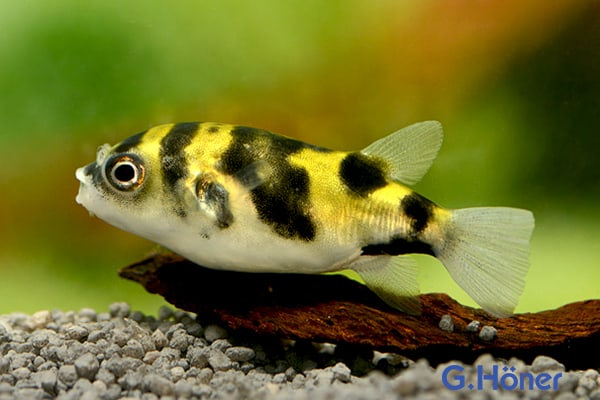 Colomesus asellus - Papagei-Kugelfisch 3