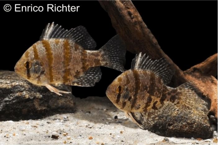 Enneacanthus chaetodon - Scheibenbarsch 2