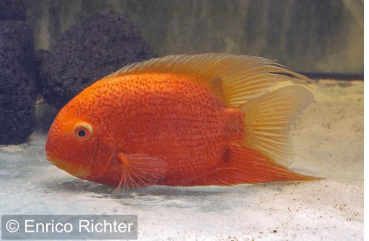 Heros notatus augenfleckbuntbarsch my fish for Zierfische barsch