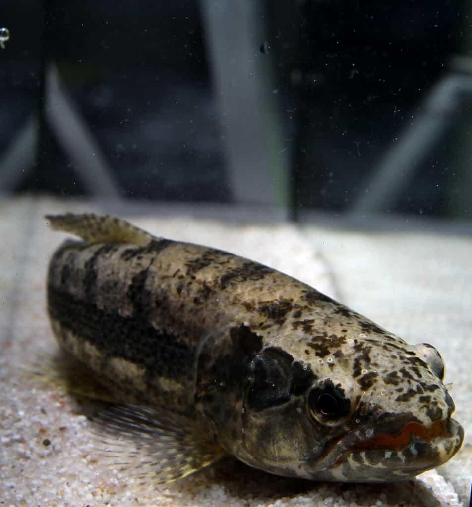 Hoplias malabaricus - Wolfsfisch1
