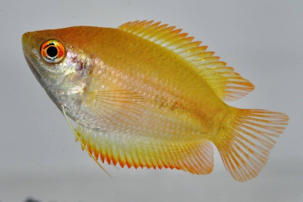 Trichogaster chuna var. - Honiggurami 1