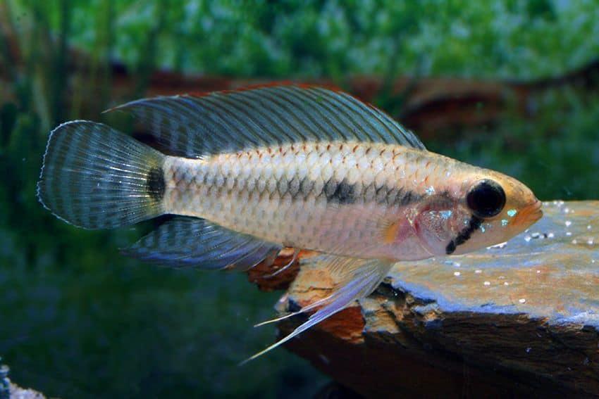 Apistogramma velifera my fish for Jb tropical fish