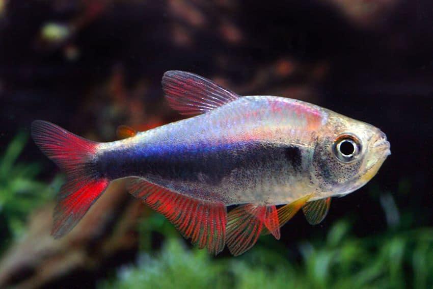 "Hyphessobrycon sp. ""Blue Red Peru"" - Blau-Roter Peruaner 1"