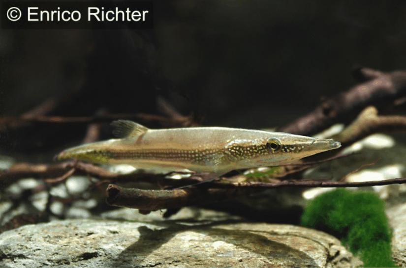 Luciocephalus aura - Diamant-Hechtkopf 6
