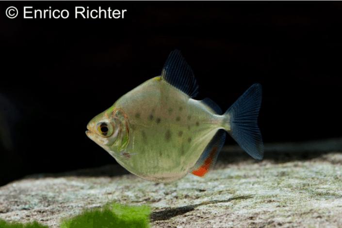 Metynnis sp. aff. maculatus - Punktierter Rotflossen-Scheibensalmler 4