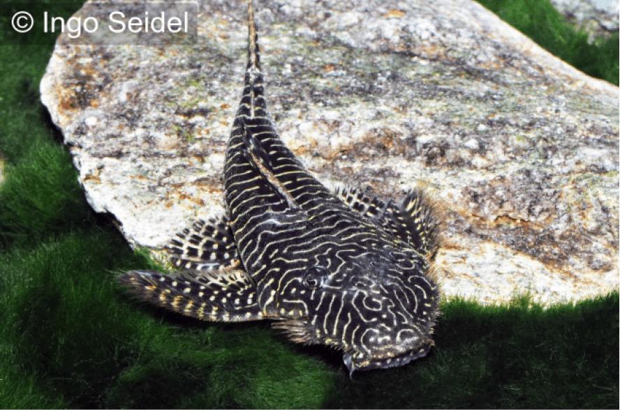 Pseudolithoxus tigris (L 257) 1