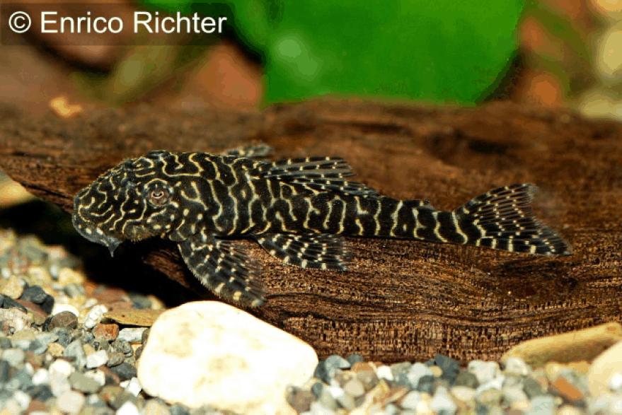 Pseudolithoxus tigris (L 257) 2
