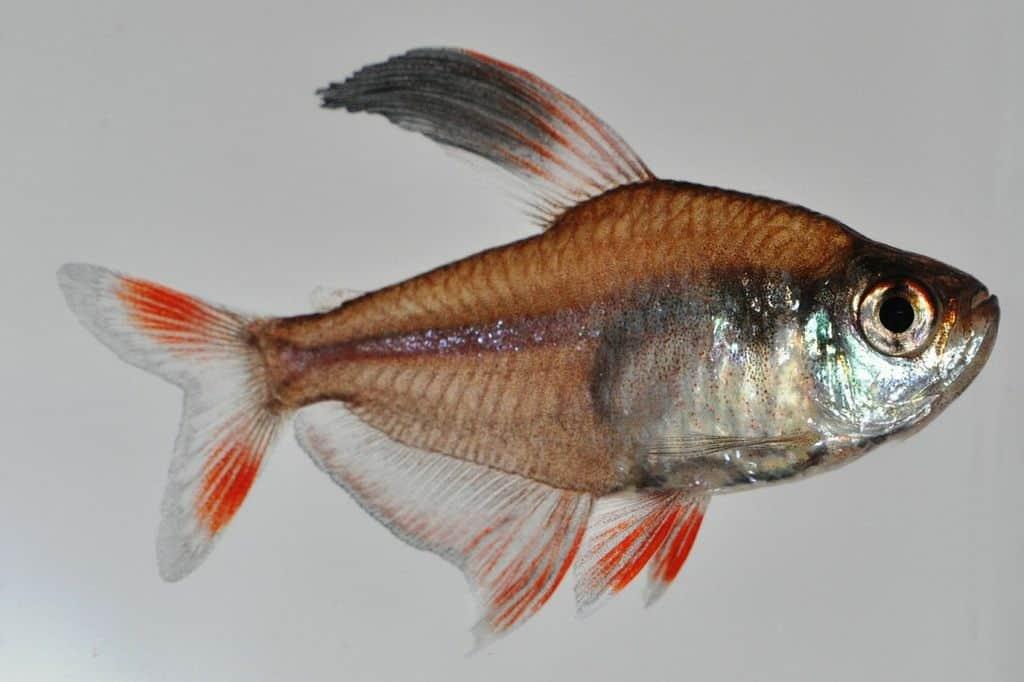 Hyphessobrycon bentosi - Echter Sichelsalmler 2