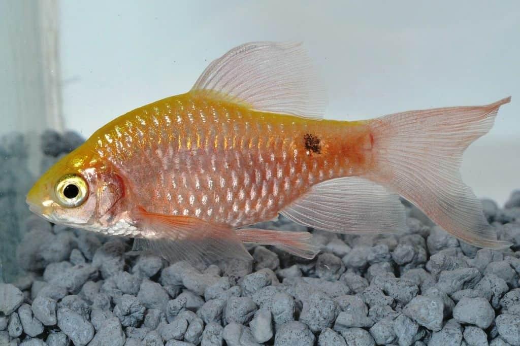 Pethia conchonius - Schleierprachtbarbe 1