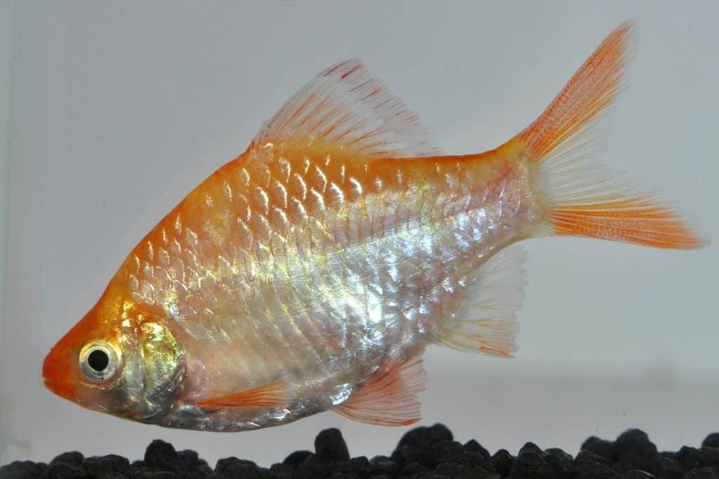 Systomus anchisporus - Sumatrabarbe gold 1
