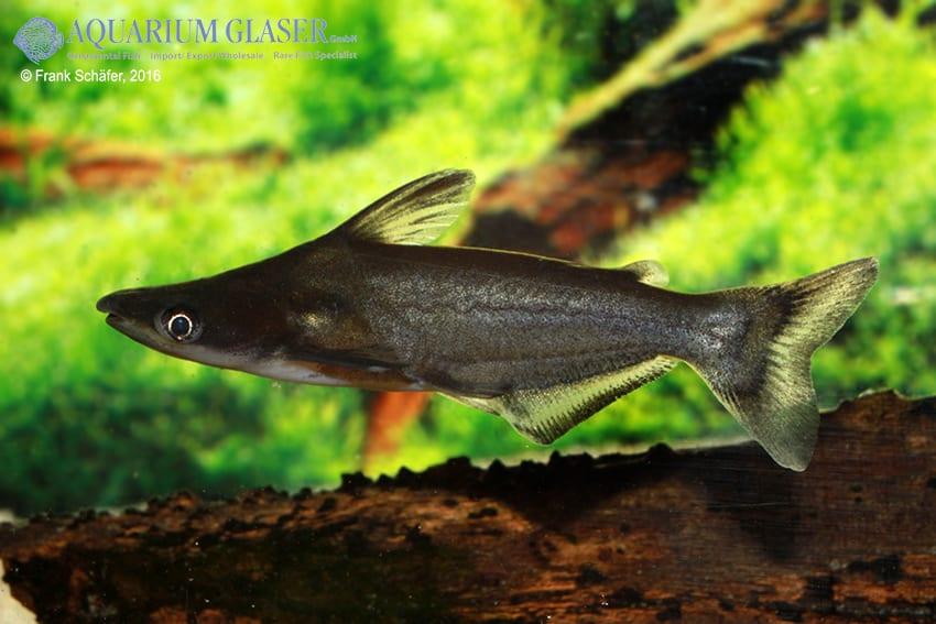 Ageneiosus atronasus - Peru-Delphinwels 4