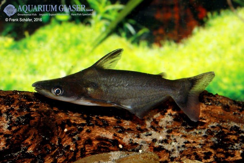 Ageneiosus atronasus - Peru-Delphinwels 2